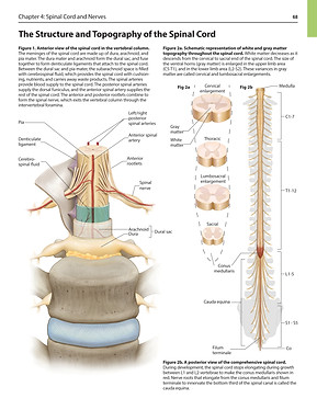 The Structure and Topography of the Spinal Cord