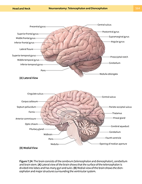 The Human Brain: Lateral and Medial View