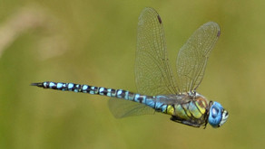 the resilience of a dragonfly
