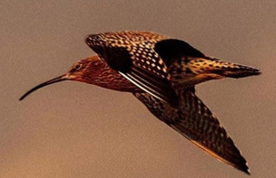 Curlew conservation funding increased and jobs created for 30 seasonal contractors