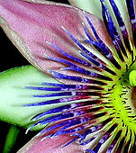 My PassionFlower
