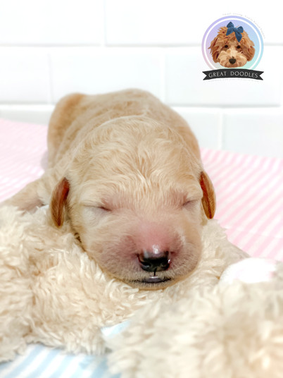One week old goldendoodle puppy