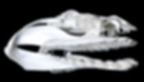 Chlamydosaurus anguineus (5).png