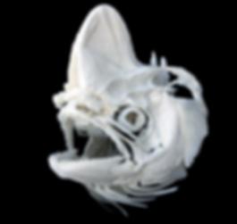 Coryphaena hippurus (4).png