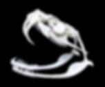Bitis gabonica skull (3).png