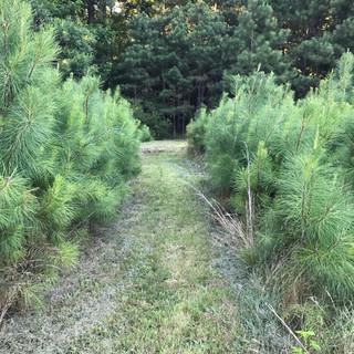 pine pathways