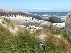 Pinguin in Südafrika