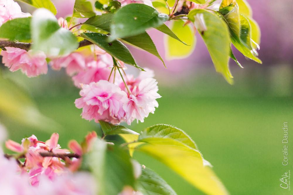 Fleurs cerisiers japonais Hanami Parc de Sceaux