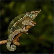 Jackson's three-horned chameleon (Trioce
