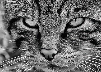 Scottish Wild Cat 2.jpg