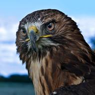 Bird of Prey.jpg