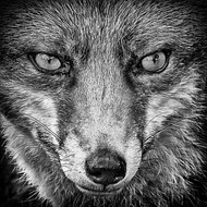 The She Fox.jpg