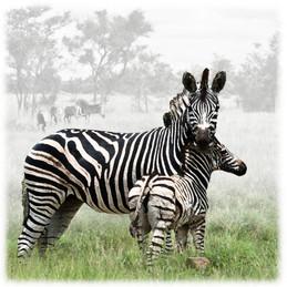 Zebra 1A 2  _D801841e1.jpg