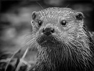 Otter - OLB30267e1.jpg