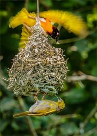 Nest Building.jpg