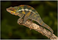 Panther Chameleon (Fucifer pardalis).jpg