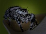 Jumping Spider - OLA35263e2.jpg