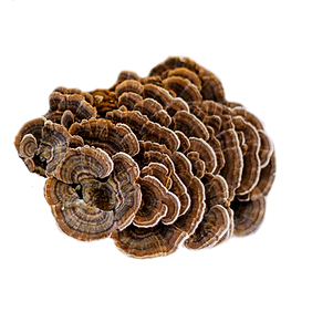Turkey Tail