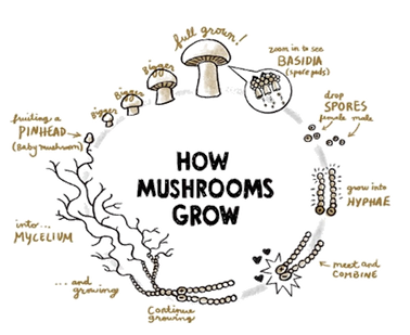 Mushroom Life Cycle.png