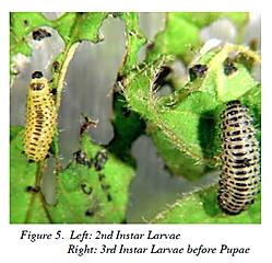 Viburnum Leaf Beetle 2-3.png