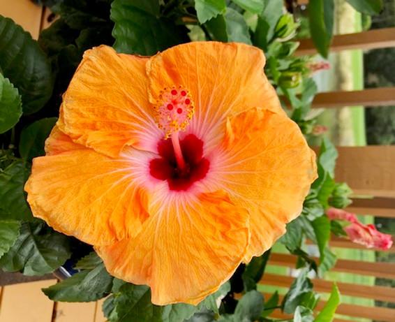 Janet Keistler Hibiscus.jpg