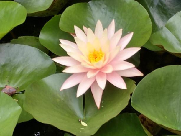 Water Lily - J. Helms.jpg