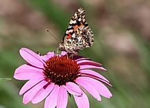 Elgin painted lady.jpg
