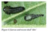 Viburnum Leaf Beetle Larvae.png