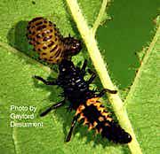 Viburnum Leaf Bug.png