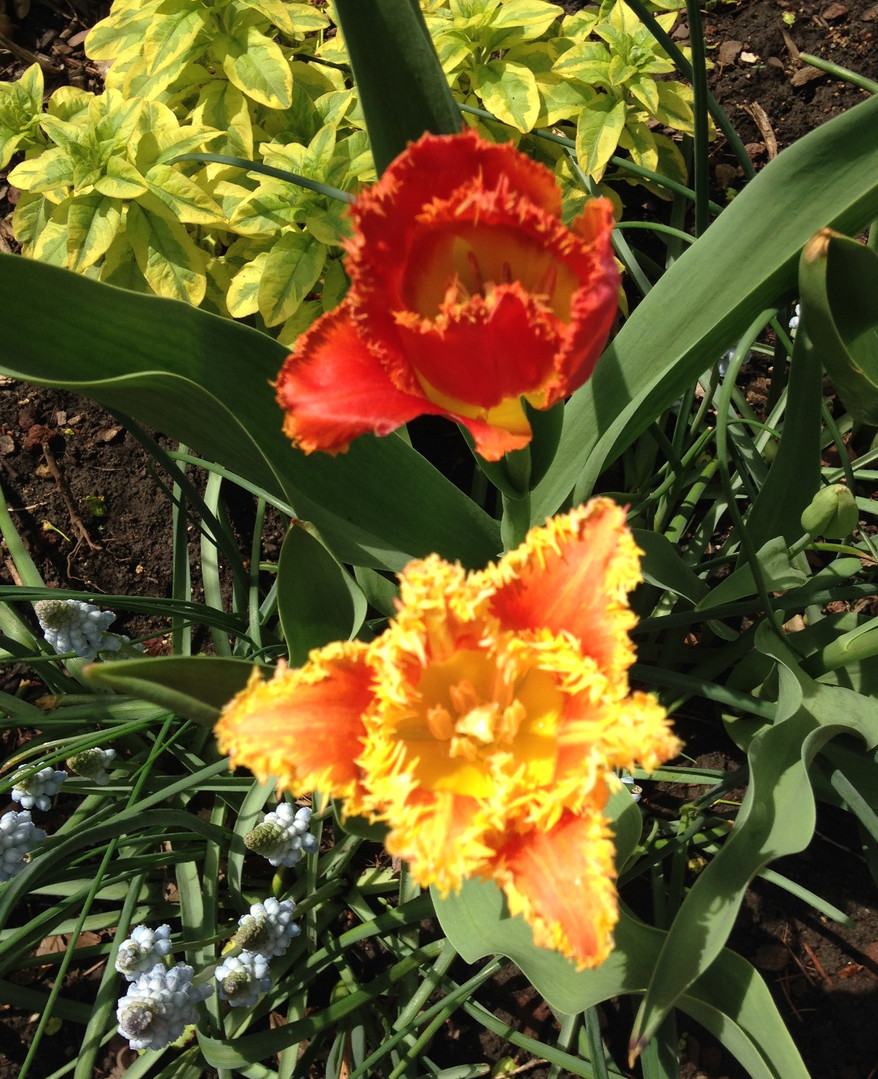 Tulips - Carol Ohrn.jpg