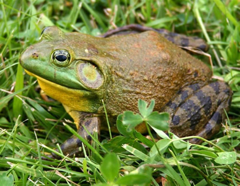 bullfrog - Anita Bierbaum.jpg