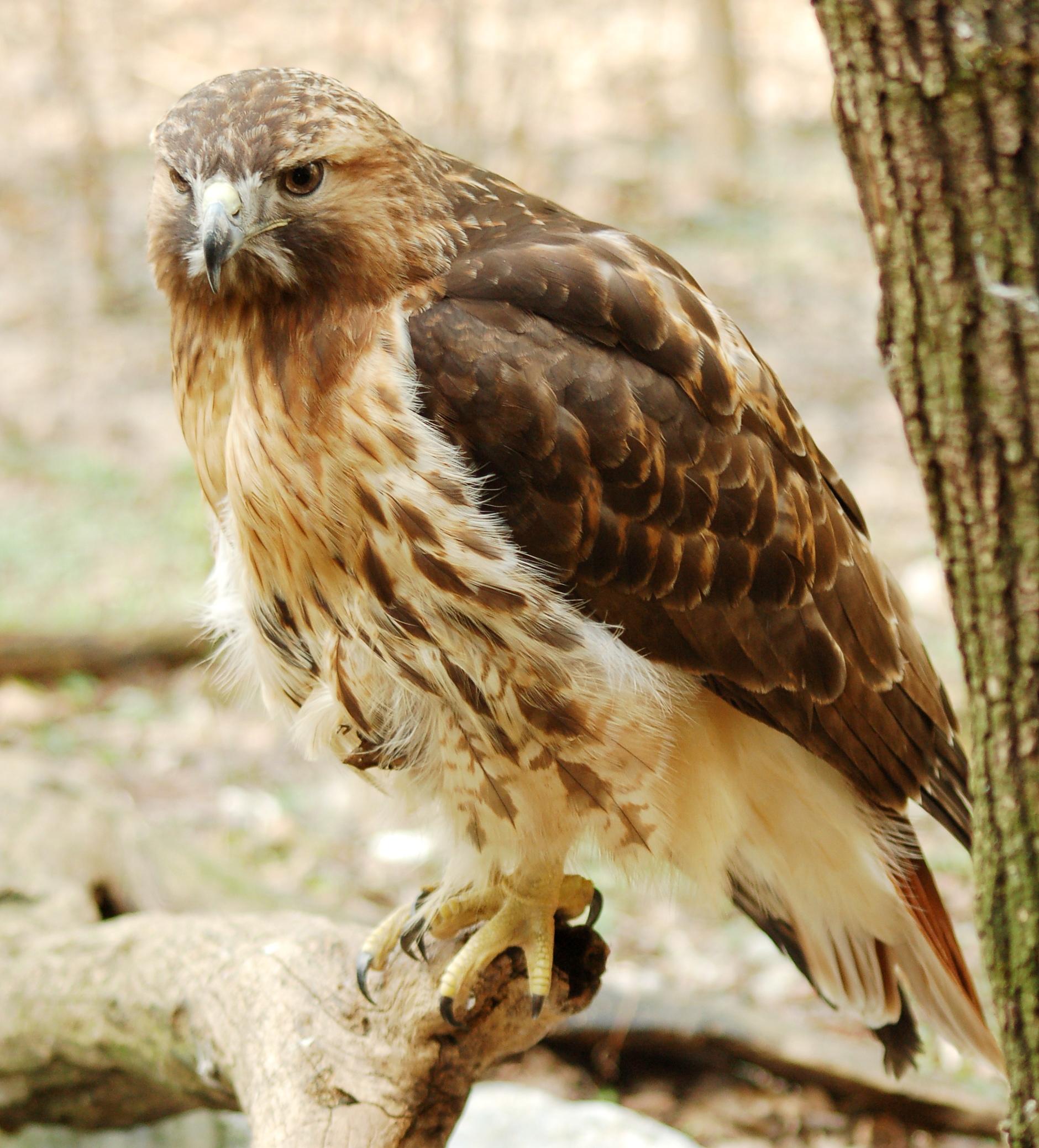 Red-tailed_Hawk_.jpg