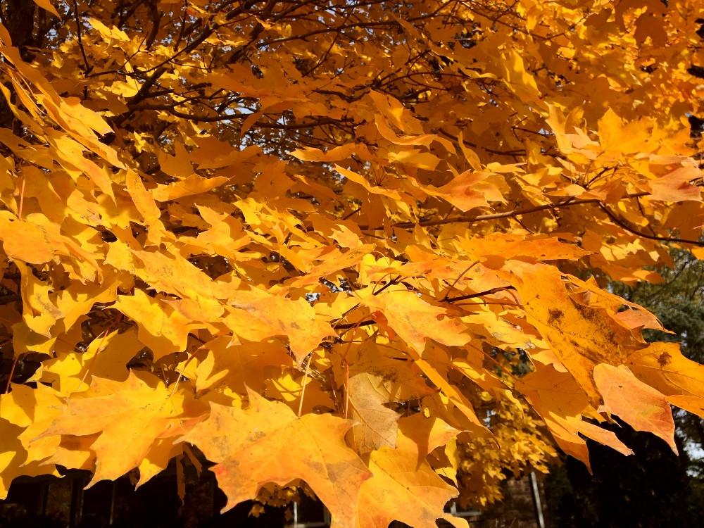 David Robson's Maple Tree.jpg