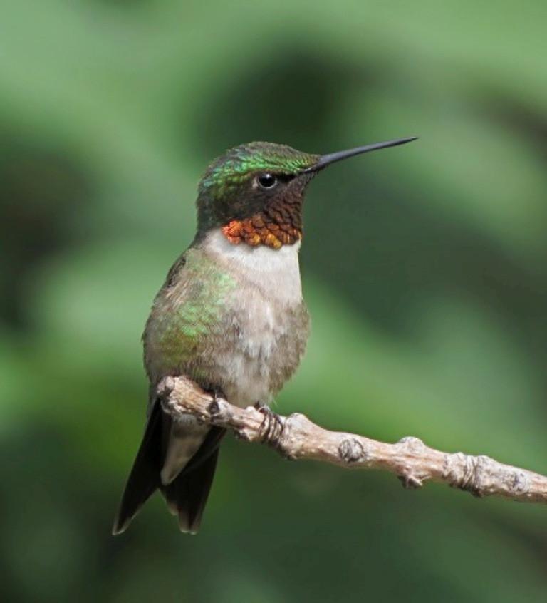 Ruby Throated Hummingbird - Anita Bierba