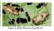 Viburnum Leaf Beetles - Adult.png
