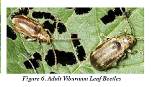 Viburnum Leaf Beetles - Adult.png
