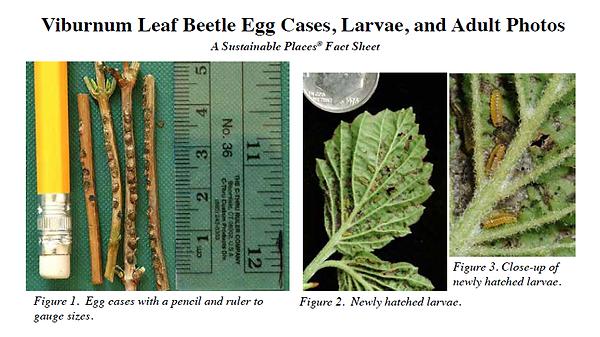 Viburnum Leaf Beaetle Photos.png