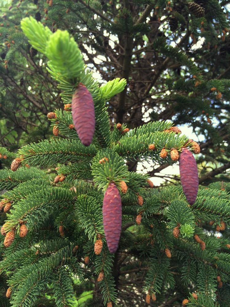 white spruce - Judy Belieff_edited.jpg