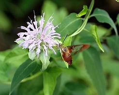 Elgin moth.jpg