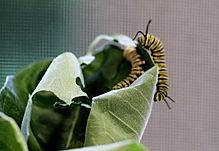 Elgin milkweed.jpg