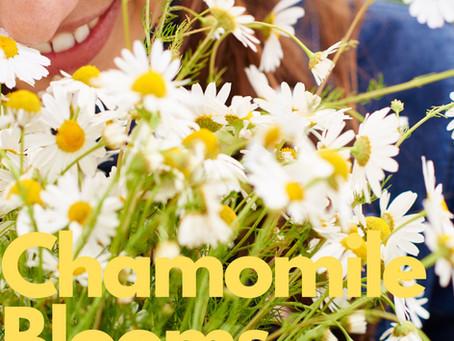 CHAMOMILE BLOOMS