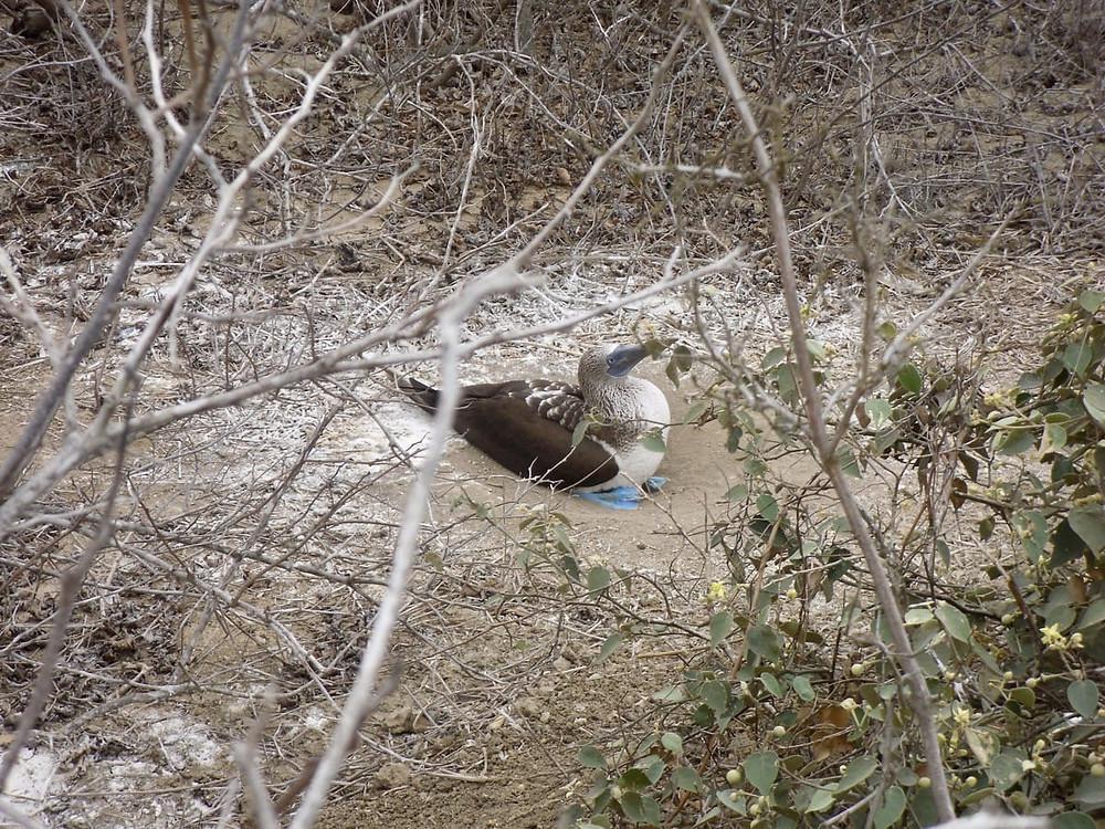 Blue Footed Boobies - Isla Del Plata - Ecuador