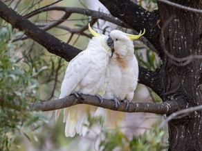 Experience the Sulphur-Crested Cockatoo