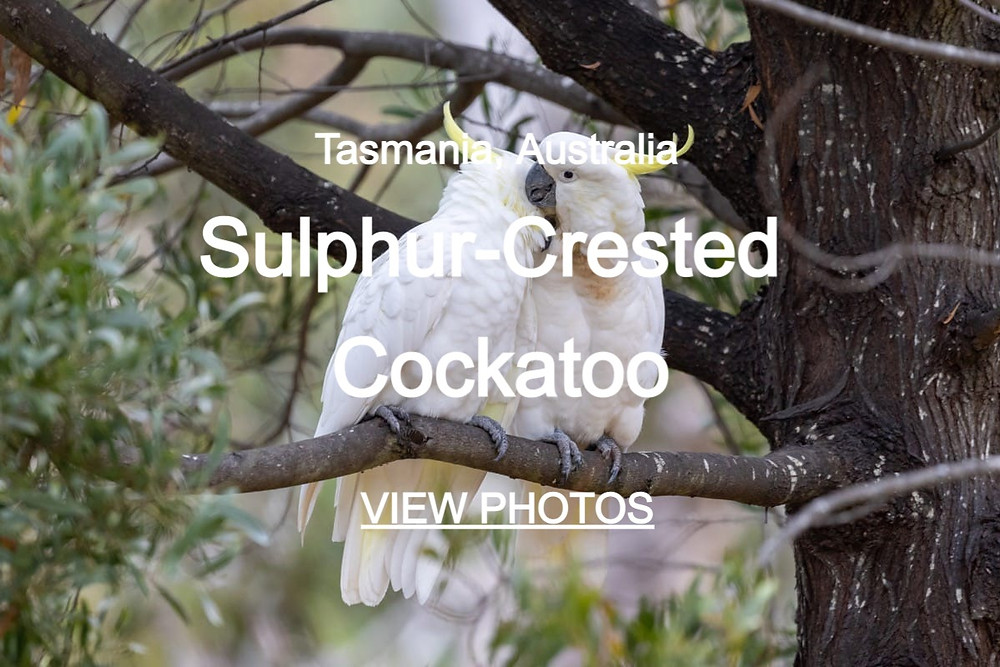 Click through to beautiful photos of Sulphur-Crested Cockatoos