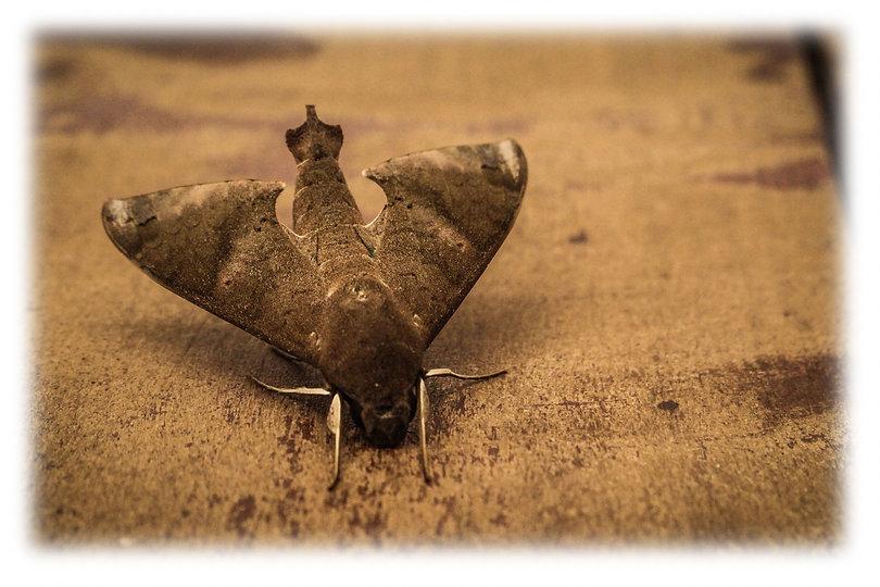 close-up-photo-of-gray-hawk-moth-on-grou