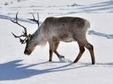 Reindeer Tracks Candle or Melts