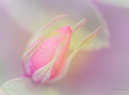 a rose, arise