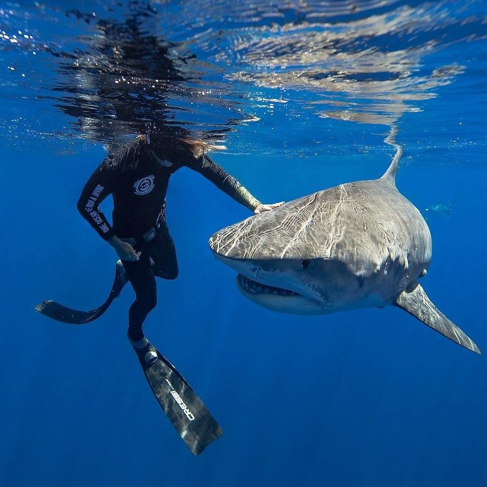 Safety Diver GE Keoni with a beautiful tiger shark in Oahu; PC: Juan Oliphant
