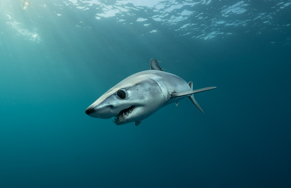Juvenile Mako off Southern California; PC: Michael Dornellas