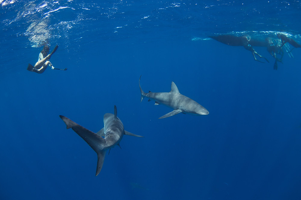 Photo of 2 galapagos sharks in Hawaii with One Ocean Diving, photo by Juan Oliphant.